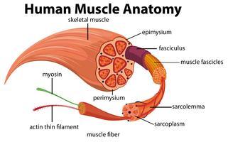 Menschliches Muskel-Anatomie-Diagramm vektor