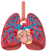 Menschliche Lunge hautnah vektor