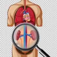 Hälsosam mänsklig njure på genomskinlig bakgrund