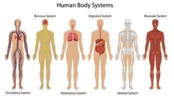 Människokroppssystem vektor