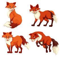 Fyra rävar med röd päls
