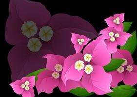 Rosa bougainvillea blommor på svart bakgrund vektor