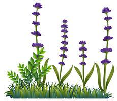 Lavendelblüten im Busch vektor