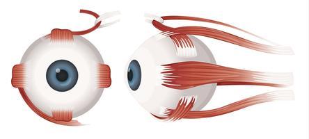Mänskliga ögonprofiler vektor