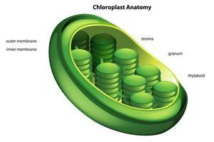 Choloroplast vektor