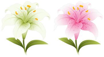 Två lilja blommor i vitt och rosa