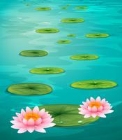 Två lotusblommor och löv på vatten