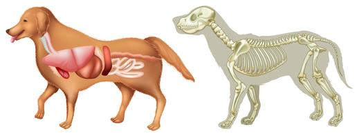 Anatomi och skelton av hund