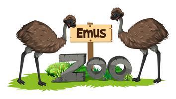 Två emus i djurparken