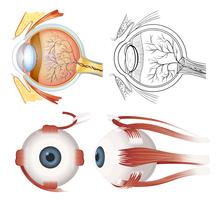 Anatomie des Auges vektor