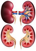 Nieren und Nierensteine auf Plakat vektor