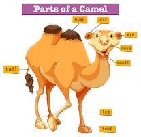 Diagram som visar delar av kamel vektor