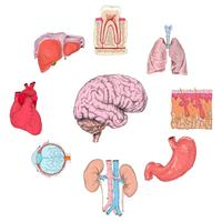Menschliche Organe gesetzt