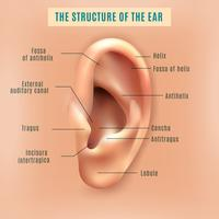 Human Ear Structure Medicinsk bakgrundsaffisch vektor
