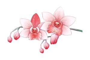 Ställ Phalaenopsis orkidé, rosa, röda blommor på vit bakgrund, digital drag tropisk växt