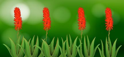 Aloe Vera Blumen im Garten vektor