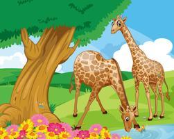 Giraffer vid flodbredden