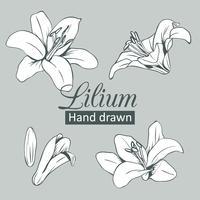 Stellen Sie Sammlung des weißen Lilium ein, das auf grauem Hintergrund lokalisiert wird. Vektor-illustration