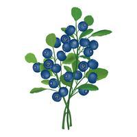 Heidelbeerzweig isoliert. Beerenblumenhintergrund. Sommer Essen Dekor vektor