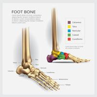 Fußknochen-Anatomie-Vektor-Illustration vektor