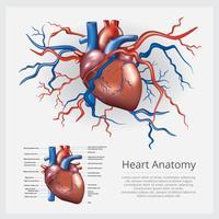 Menschliches Herz-Anatomie-Vektor-Illustration vektor