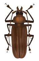 Titanbagge - Titanus giganteus