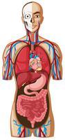 Mänsklig anatomi på vit bakgrund