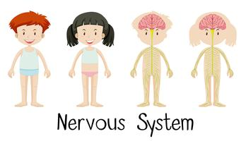 Nervsystemet av pojke och tjej