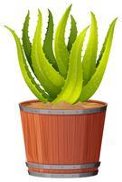 En aloe veraväxt i potten