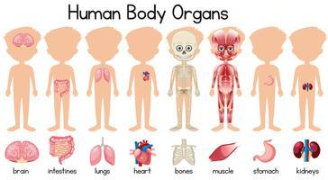 En uppsättning av mänskliga kroppsorgan