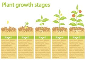 Pflanzen wachsen Infografik. Prozess des Pflanzenwachstums. Pflanzen Wachstumsphasen.