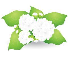 Jasminvektor auf weißem Hintergrund