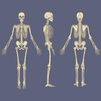 Menschliches Skelett Diagramm Vektor