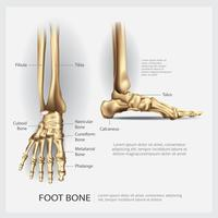 Menschliche Anatomie-Fußknochen-Vektor-Illustration
