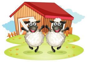 Zwei schwarze Schafe mit einer Scheune hinten
