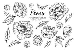 samling av pionblommor och blad
