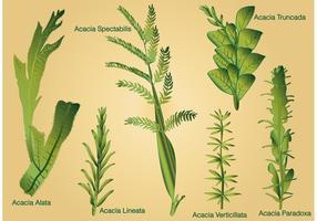 Art der Acacia Blatt Vektoren