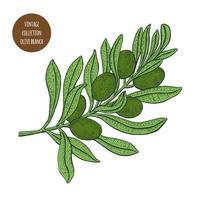 grüne Oliven auf Astzweigentwurf vektor