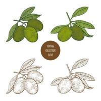 Hand gezeichneter Entwurfssatz des Olivenbaumweinlese vektor