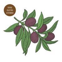 Vintage Botanik Design des Olivenbaumzweigs vektor