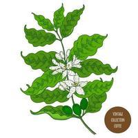 Kaffeepflanzenzweig mit Blumen vektor