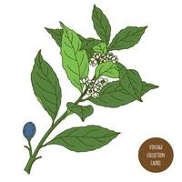 Lorbeer Lorbeerblatt Vintage botanisches Design vektor