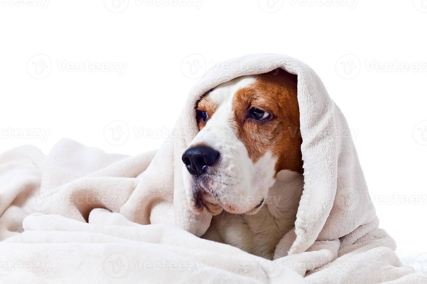 chien sous une couverture sur blanc photo