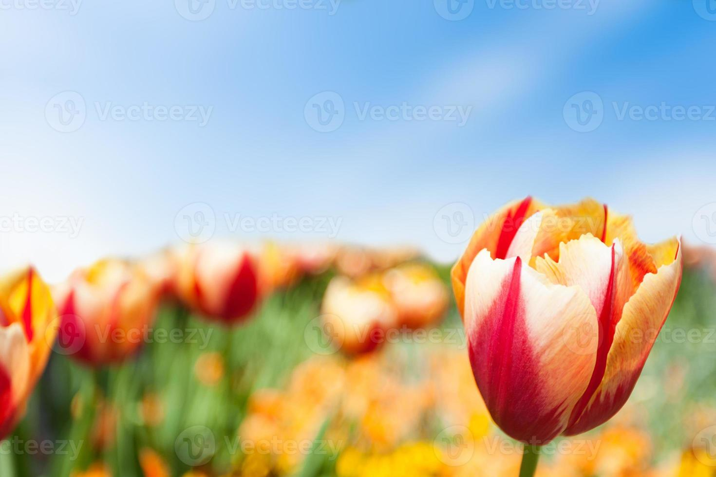 tulipe jaune rouge photo