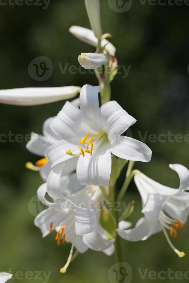 tige unique avec des fleurs en plein essor de lilium blanc photo