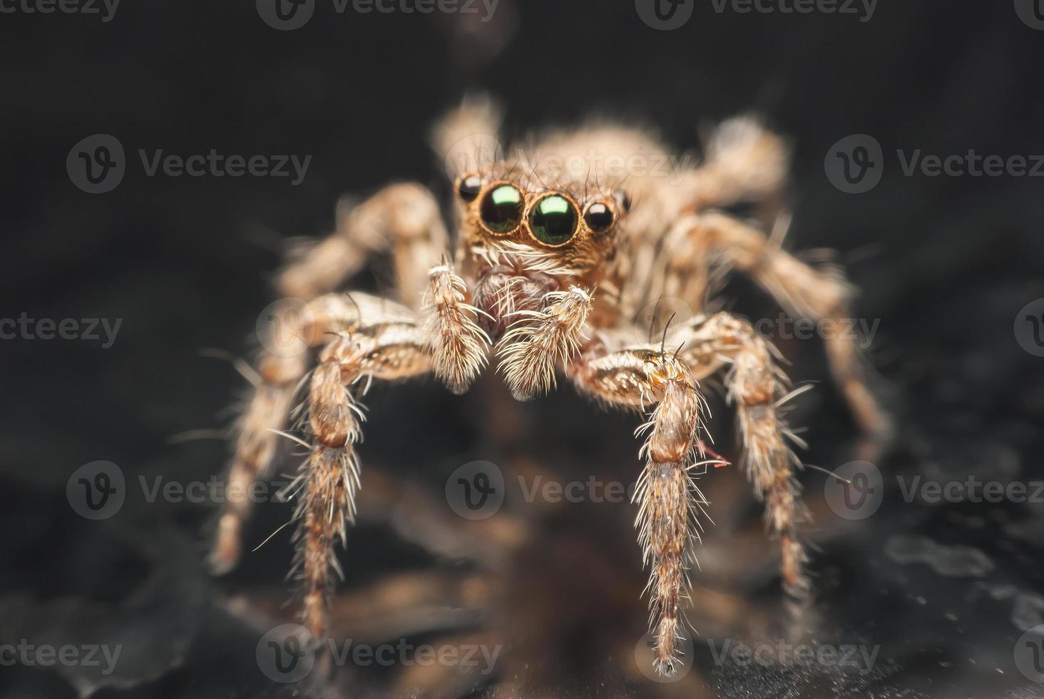 araignée sauteuse. photo