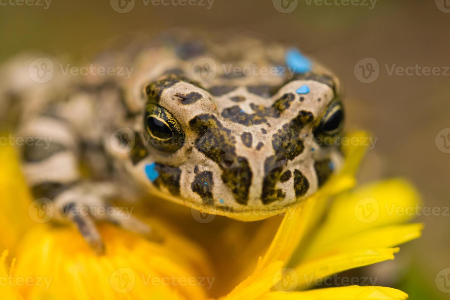 grenouille sur la fleur photo