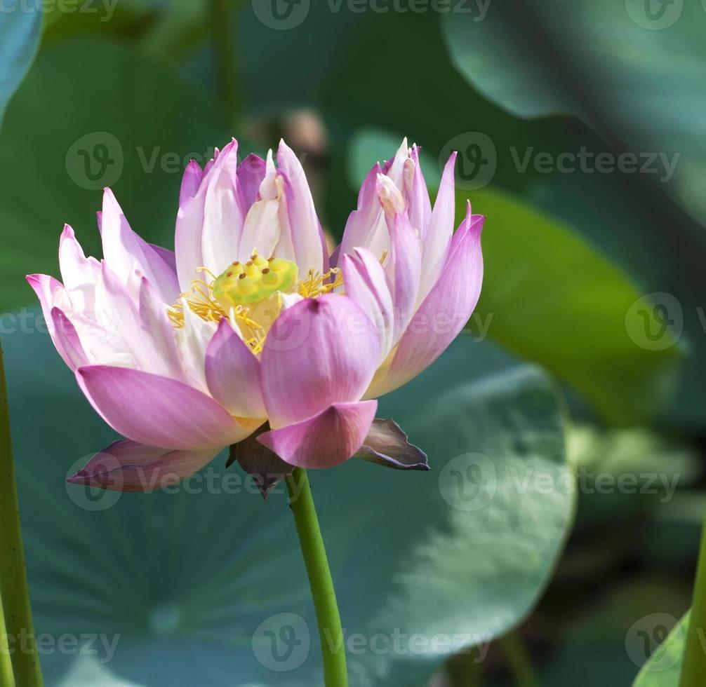 fleur de fleur de lotus photo