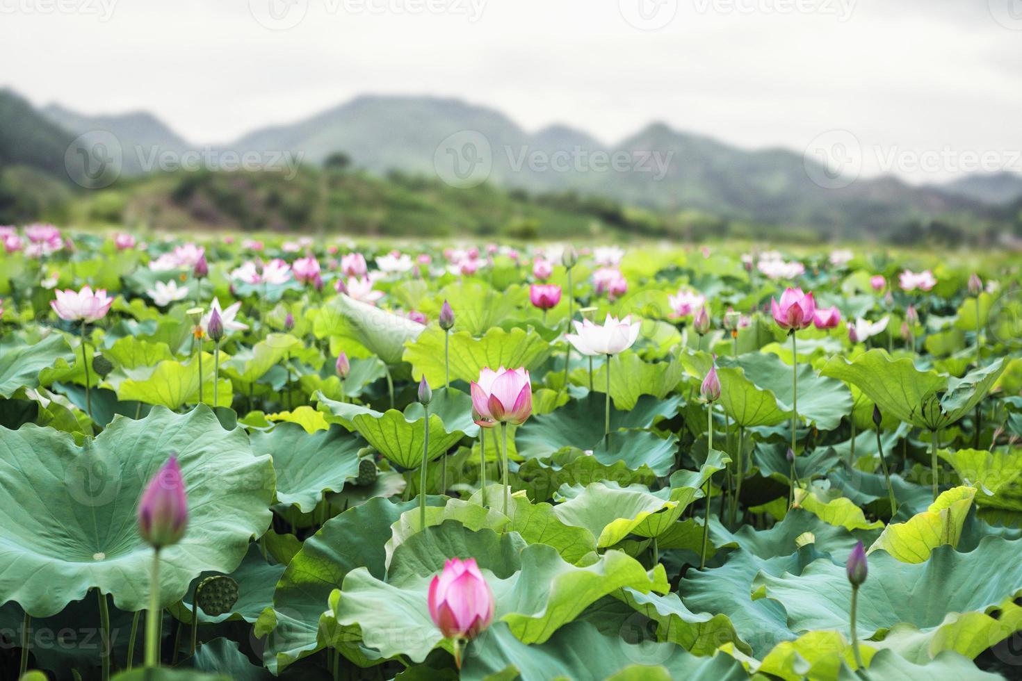 fleurs de lotus rose sur un lac, montagnes en arrière-plan photo