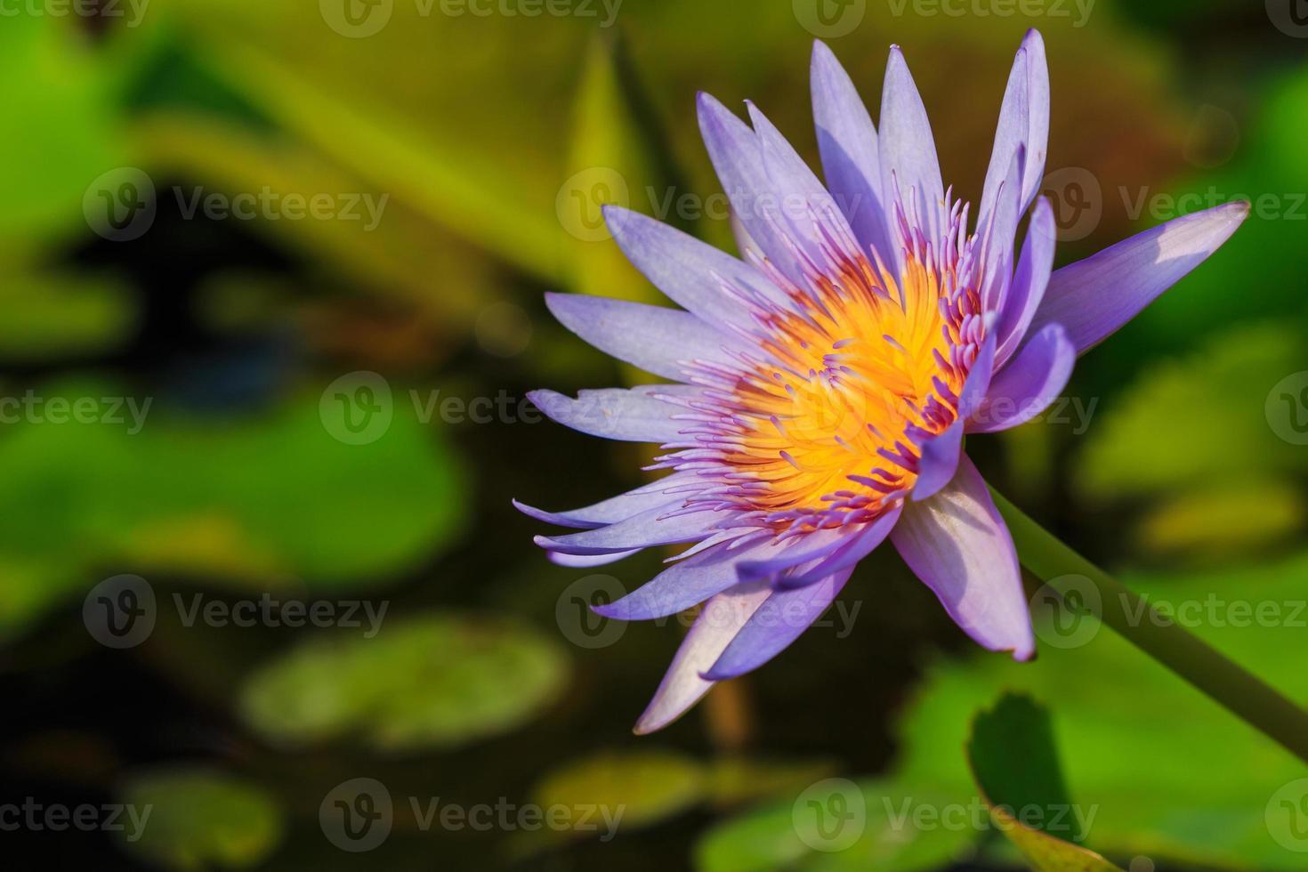 lotus violet photo